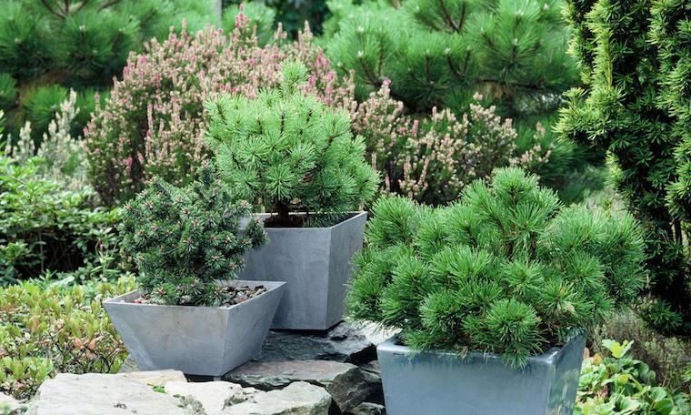 piante perenni sempreverdi giardino roccioso con vasi di alberi
