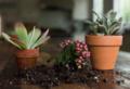 Utilizzare i fondi di caffè per piante grasse, nutrire e concimare in modo naturale!