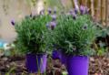 Piante da esterno perenni in vaso: quali sono e come curarle per averle sempre in fiore!