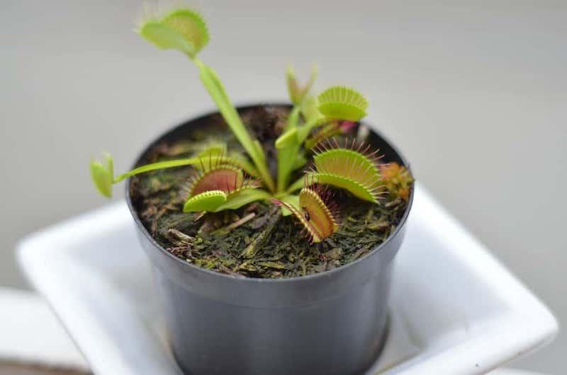 pianta carnivora come eliminare i moscerini in modo naturale