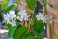 Gelsomino rampicante in vaso e in giardino: come prendersi cura dell'arbusto dal profumo eccezionale!