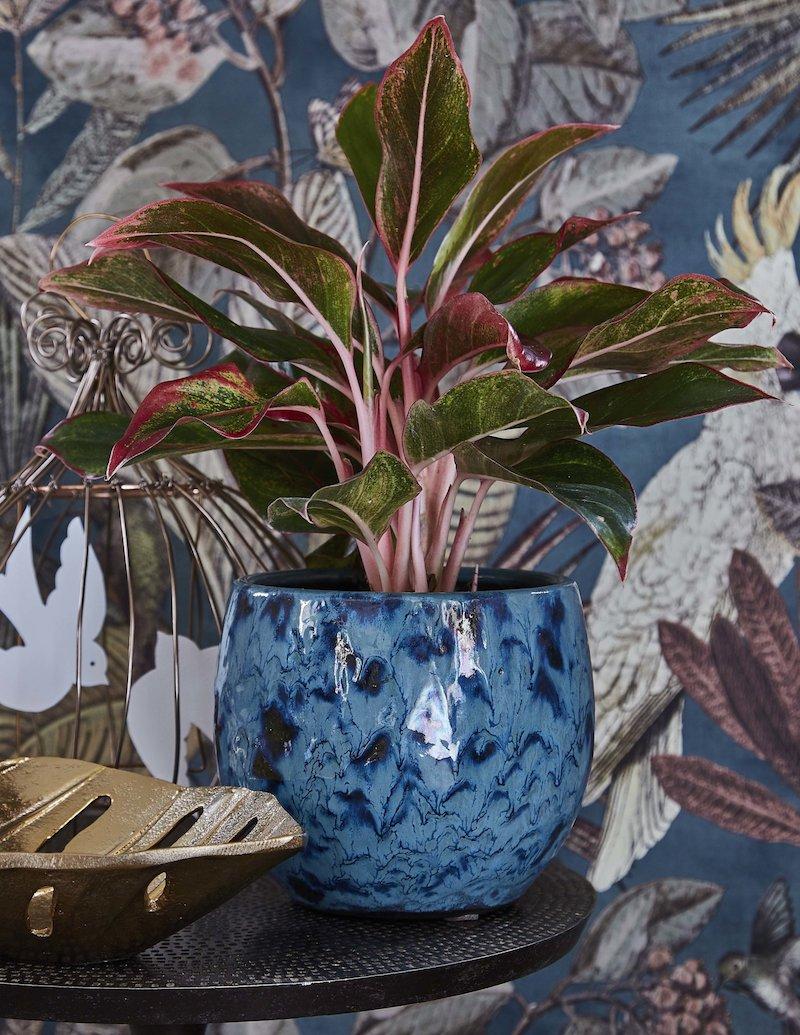 aglaoneme piante eleganti da appartamento