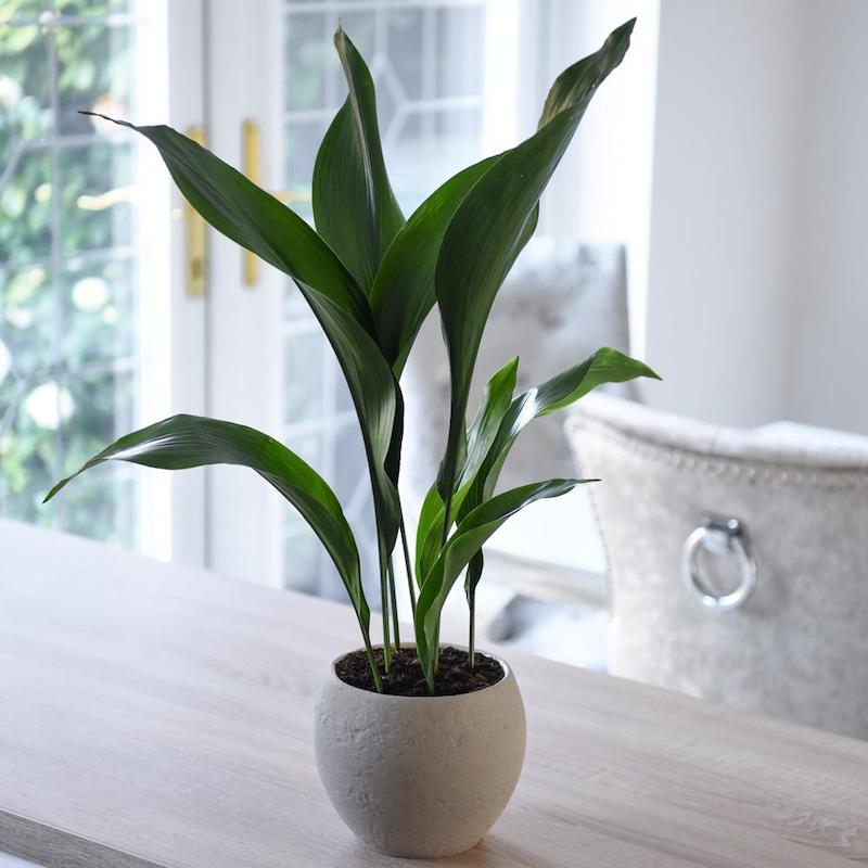 aspidistra piante da interno poca luce
