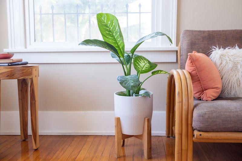 dieffenbachia quali piante da appartamento poca luce