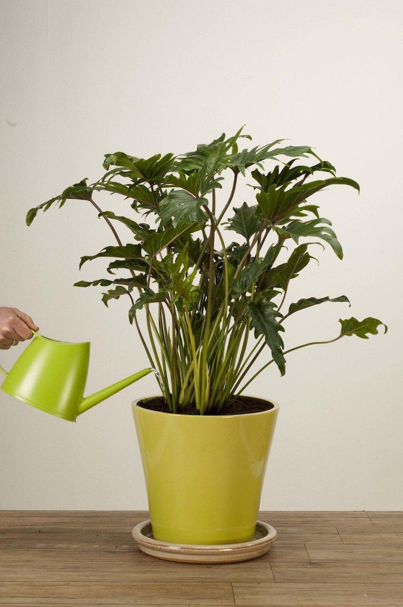 Philodendron Rustica quali sono le piante che durano di più