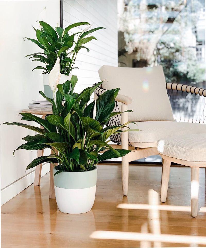 spathiphyllum super resistenti piante da interno