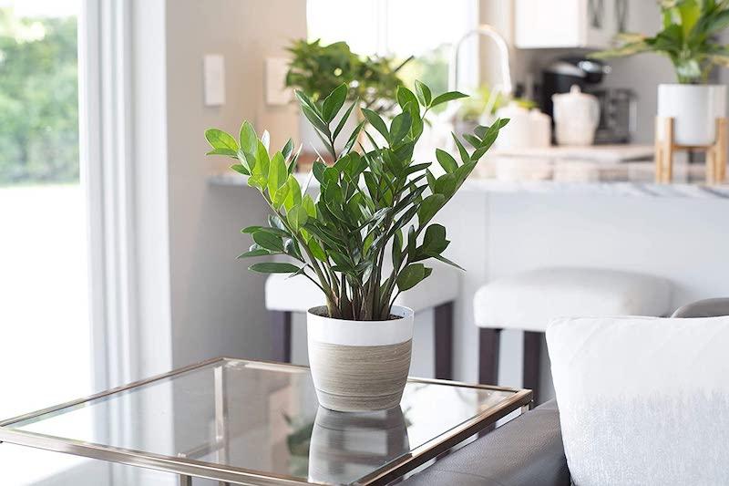 zamioculca piante da interno alte