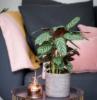 calathea quali sono le migliori piante da appartamento