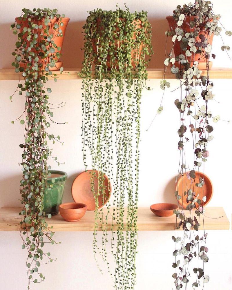 ceropegia woodii piante tropicali da interno
