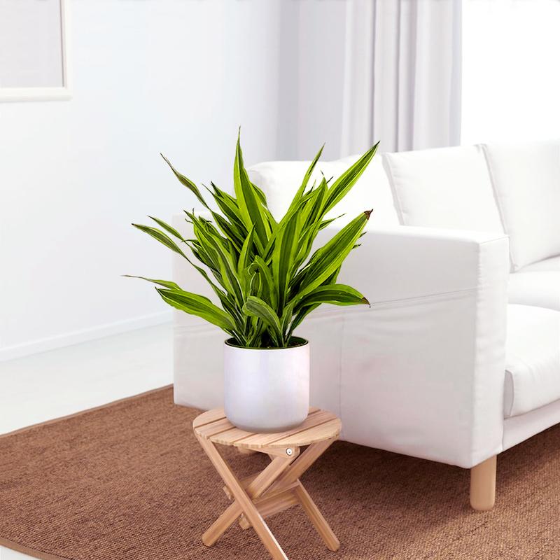 dracaena piante da interno alte