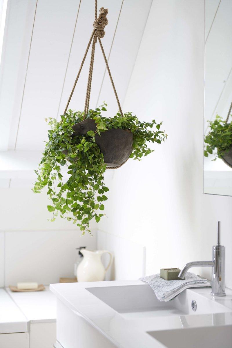 ficus pumilla piante da interno poca luce