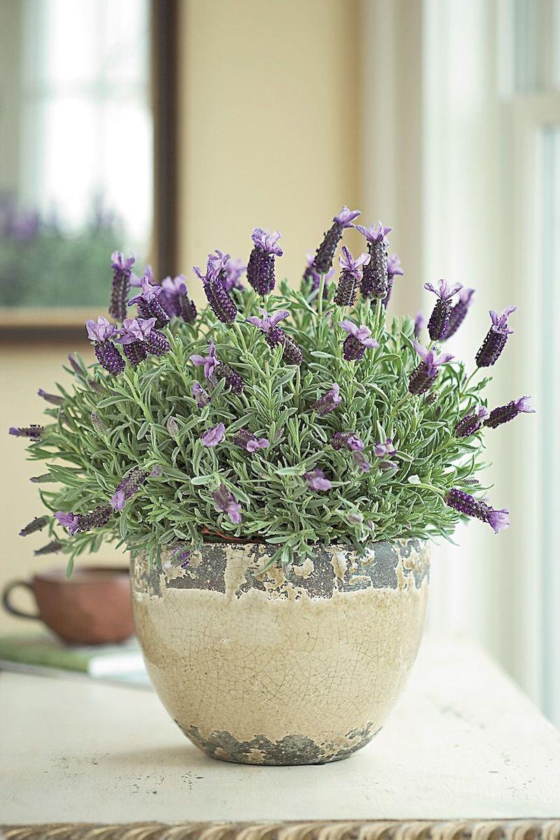fioritura lavanda in vaso