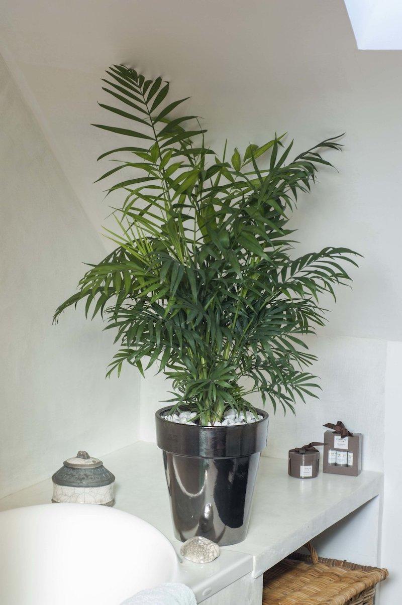 palma rustica quali piante da appartmanto poca luce