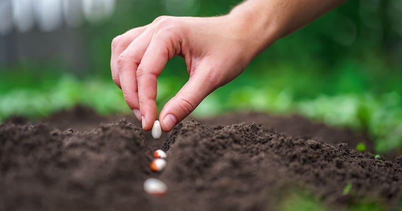 piantare legumi