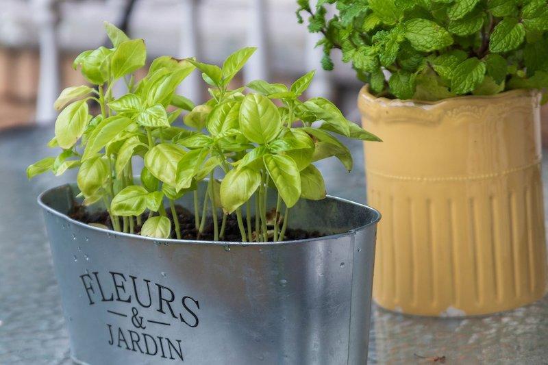piante aromatiche in vaso basilico e menta