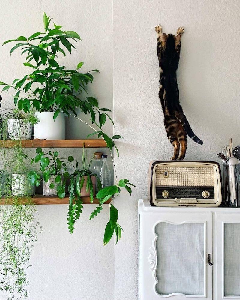 piante sempreverdi da interno gatto arrampicante