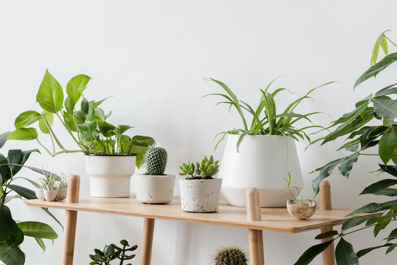 piante sempreverdi da interno