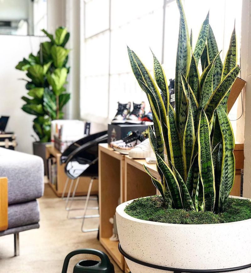 quali sono le migliori piante da appartamento sanseveria