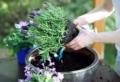Come coltivare la lavanda in vaso sul balcone o in giardino? La guida per farlo senza errori!