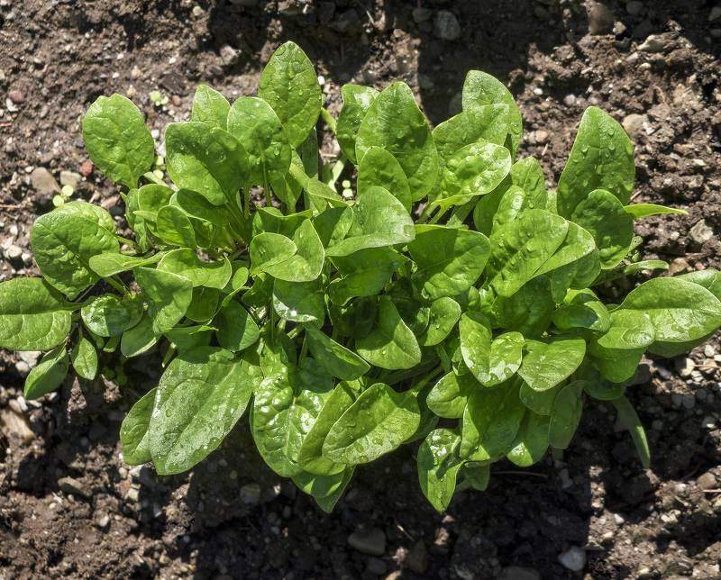 spinaci orto invernale