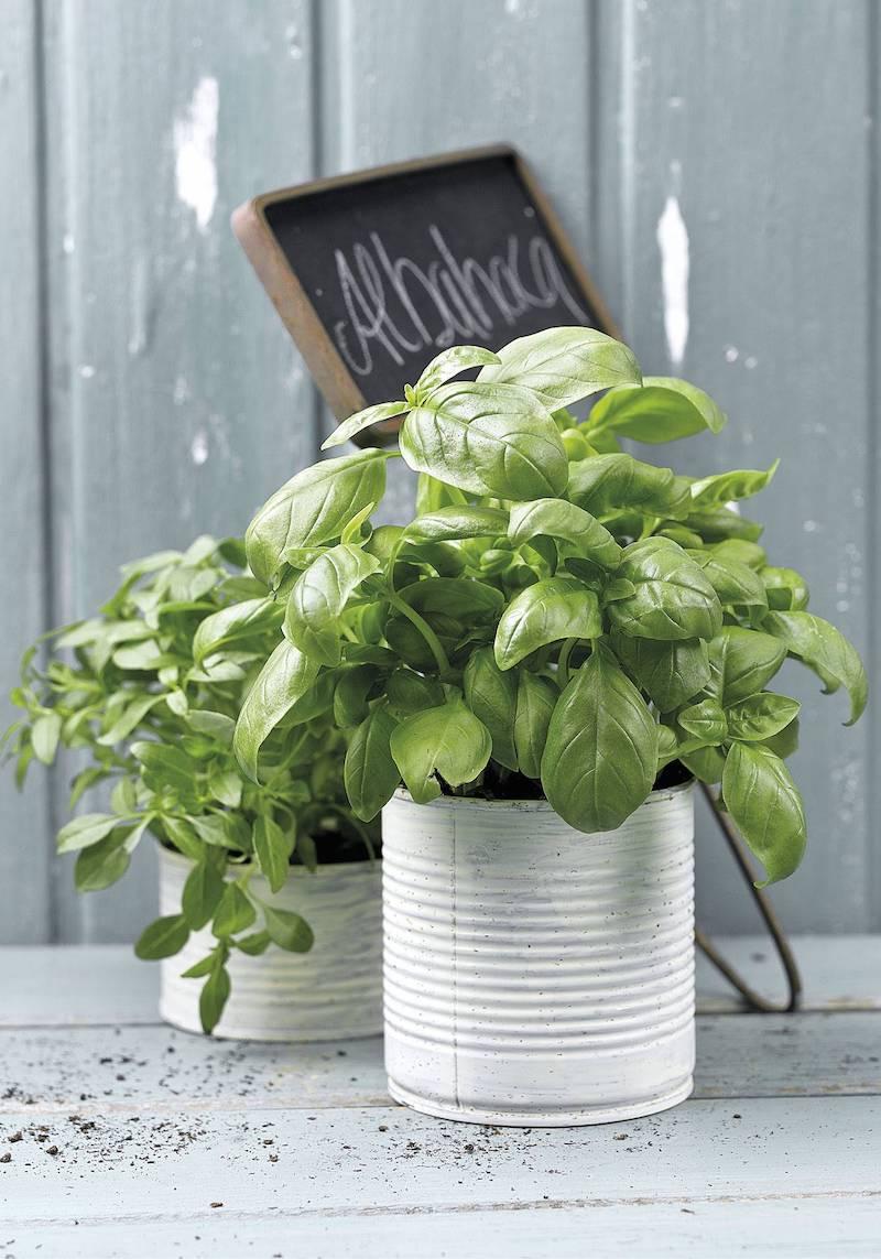vaso con basilico coltivare erbe aromatiche