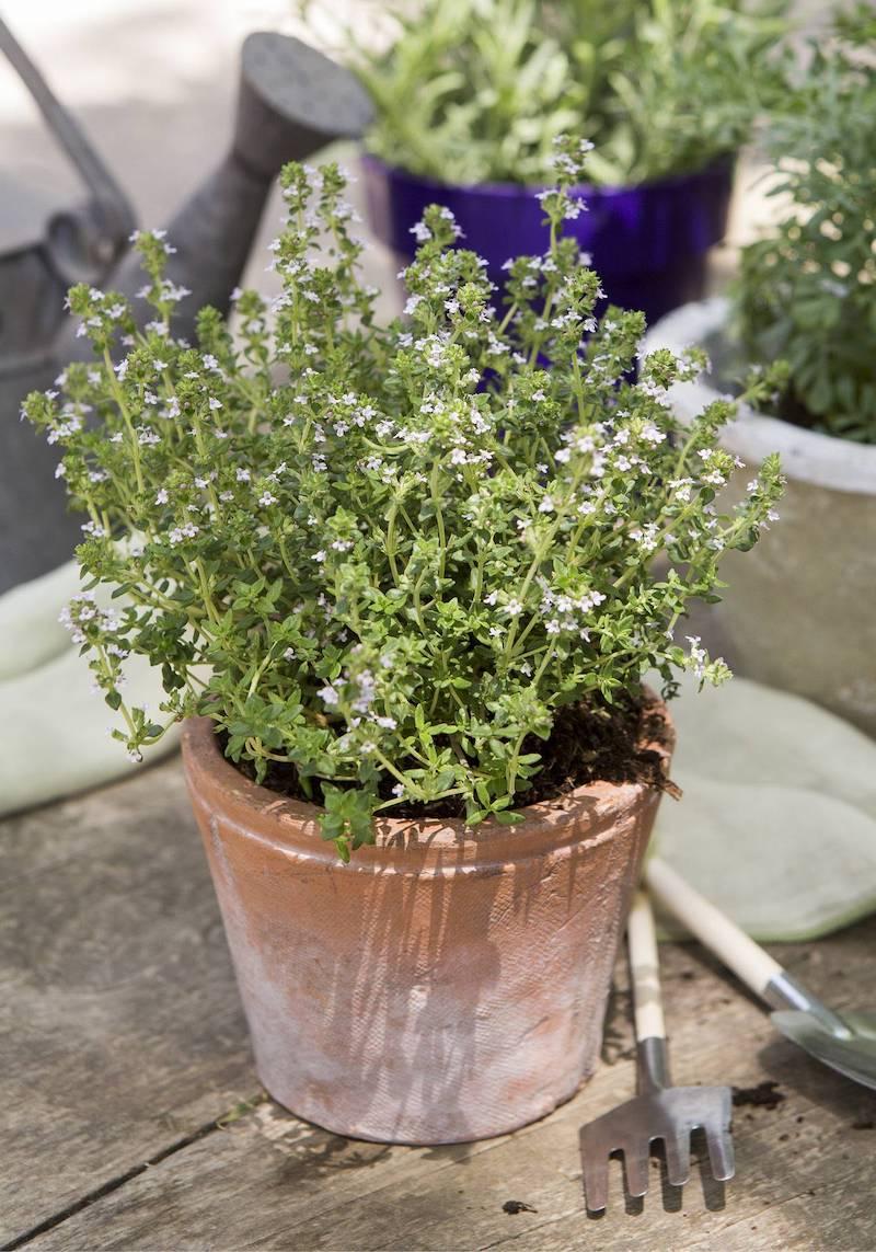 vaso con pianta aromatica