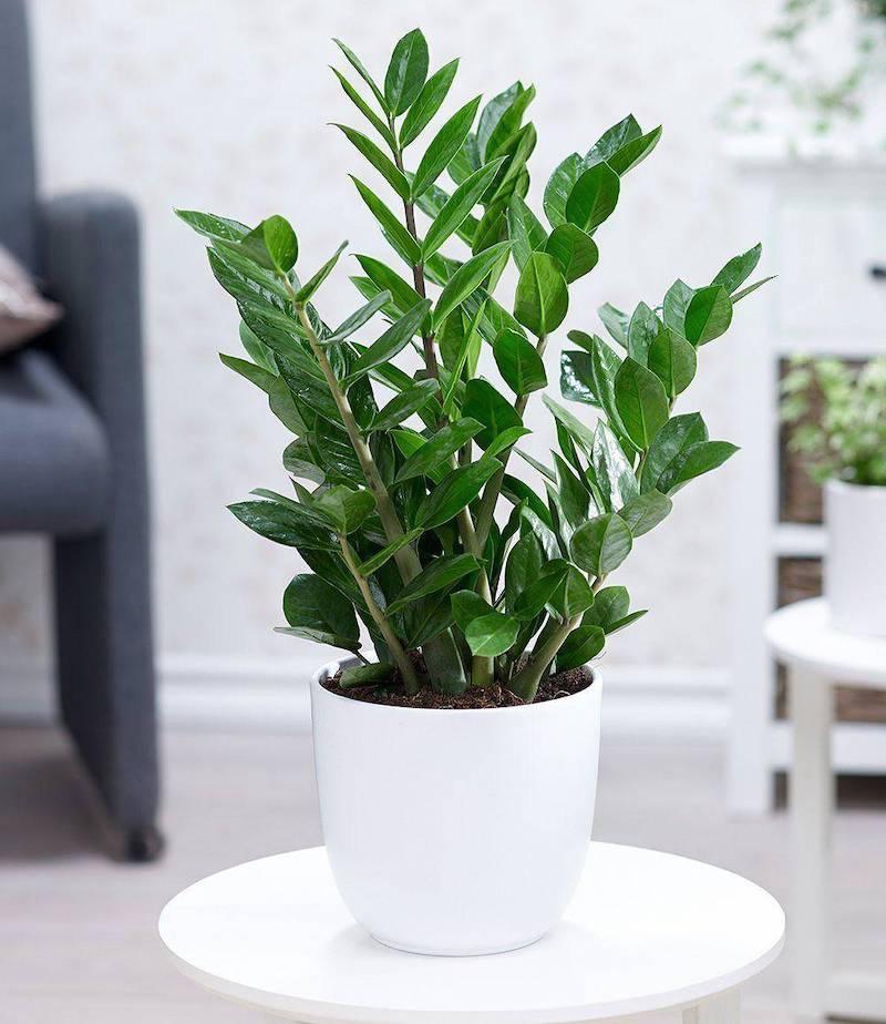 zamioculcas pianta da interno foglia verde