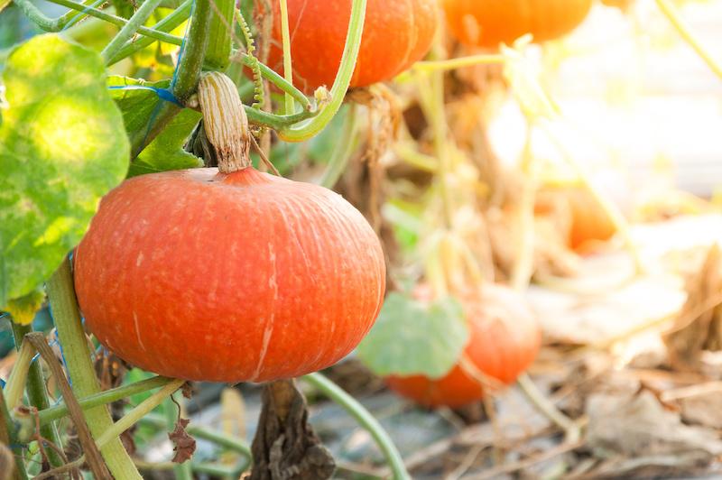 zucca cosa si semina a settembre